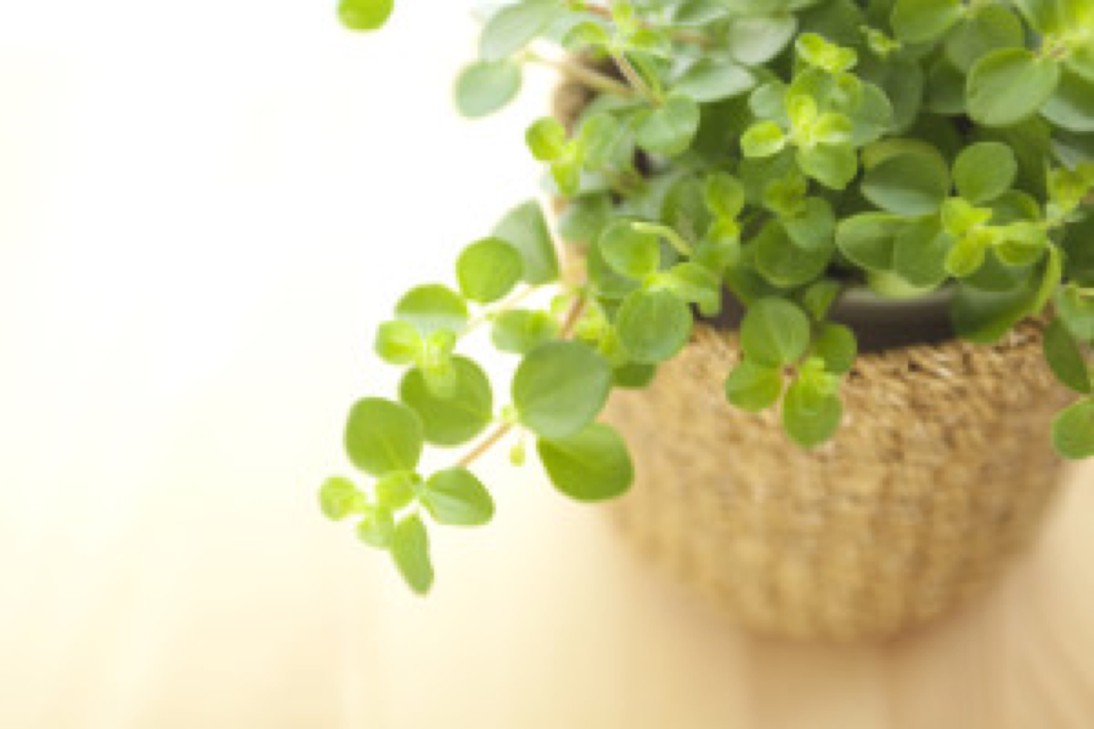 indoor plant (dollar paid)