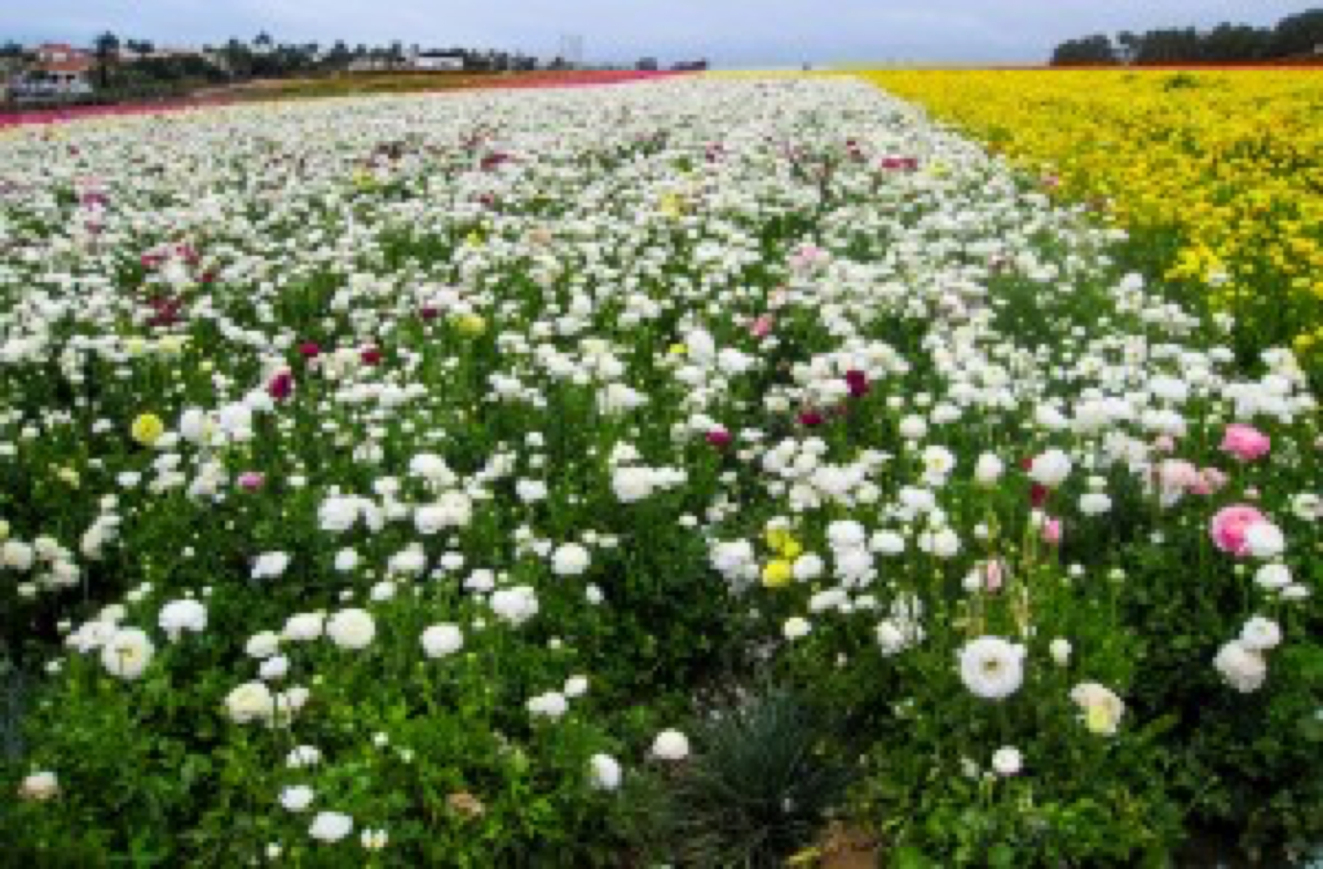 and more flower fields