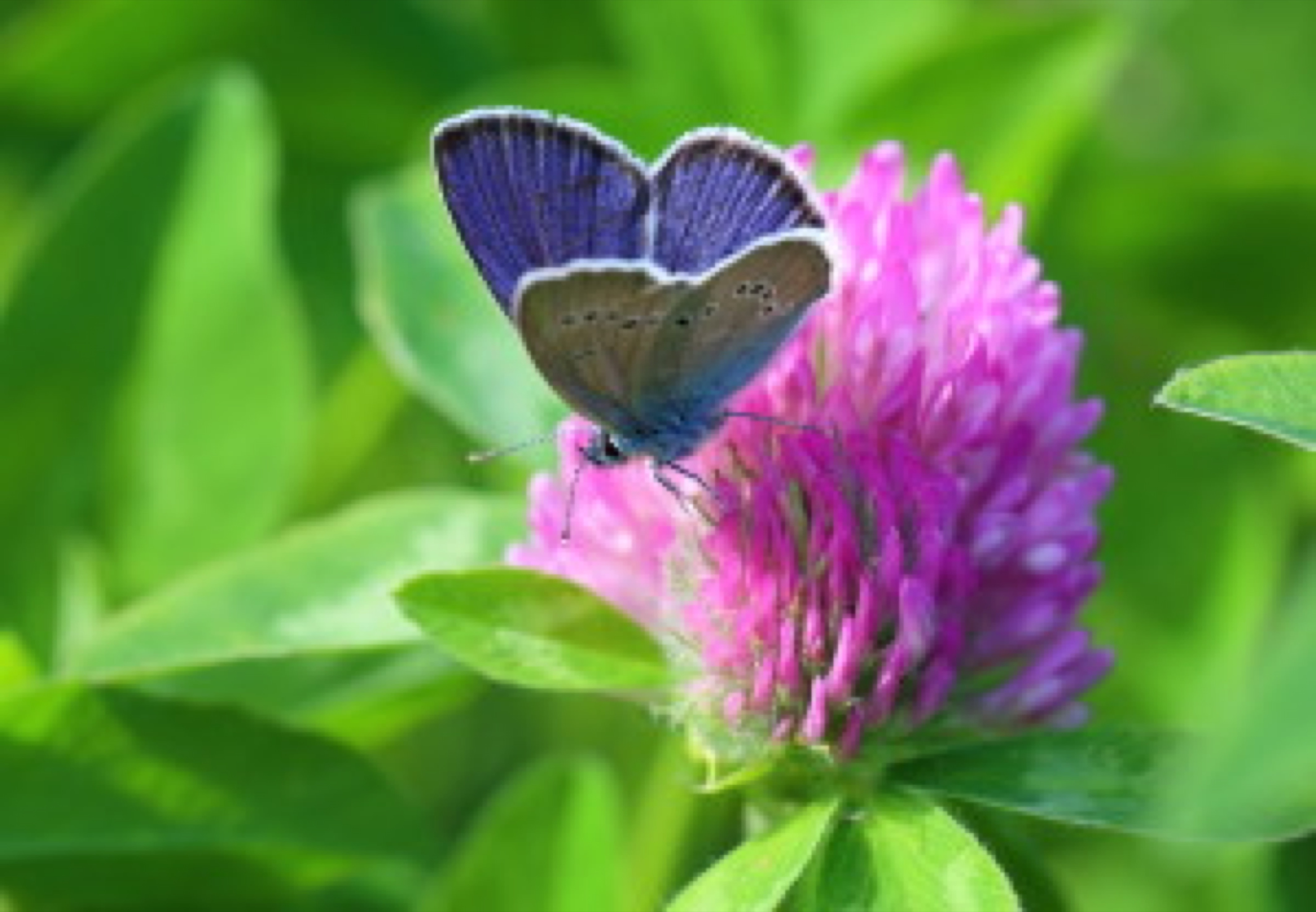 Cyaniris semiargus (Rottemburg, 1775). A butterfly on a clover flower