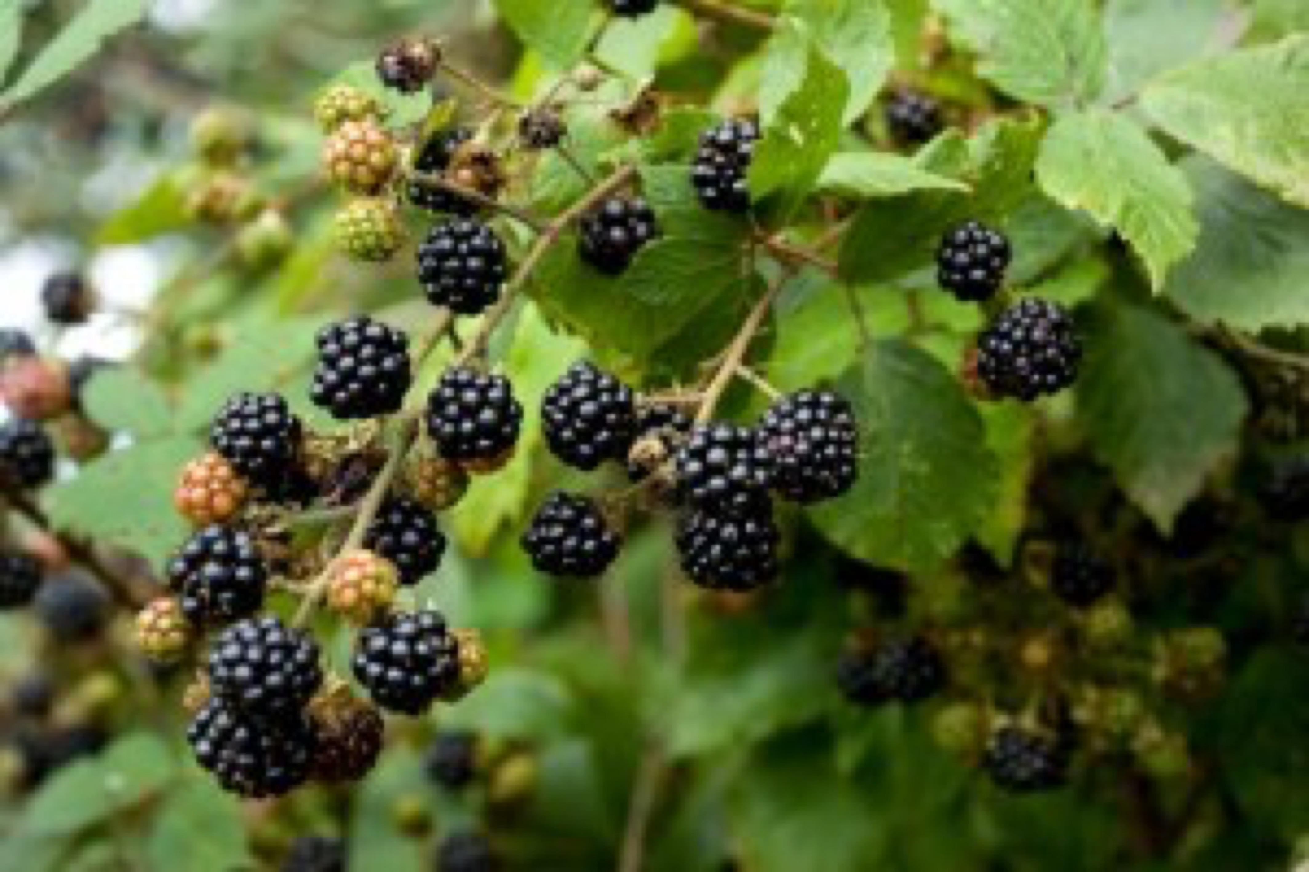 blog image - blackberries (Bryan Chitty)