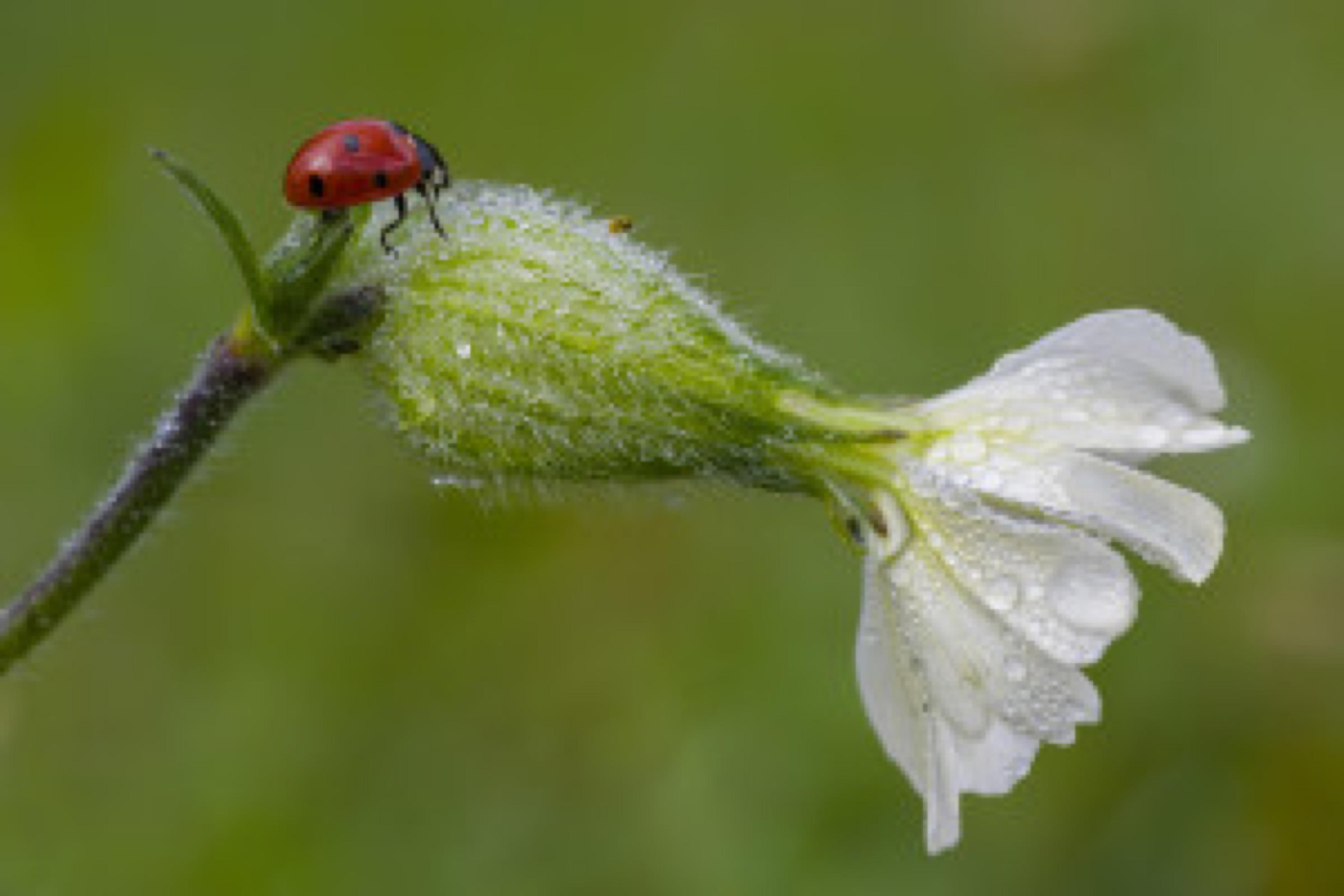 Ladybug on Saponaria white flower witn dew drops