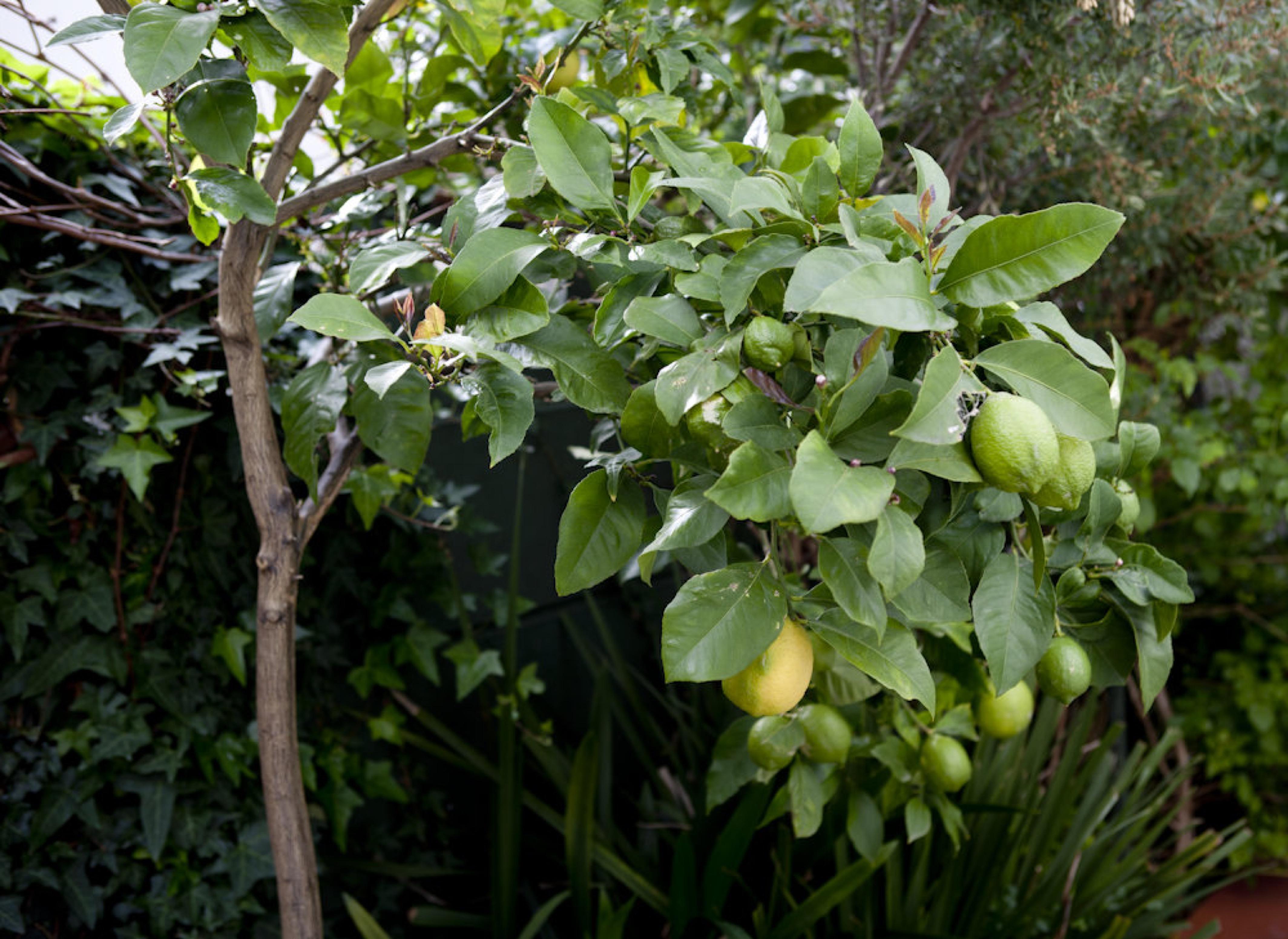 Blog image - lemon tree