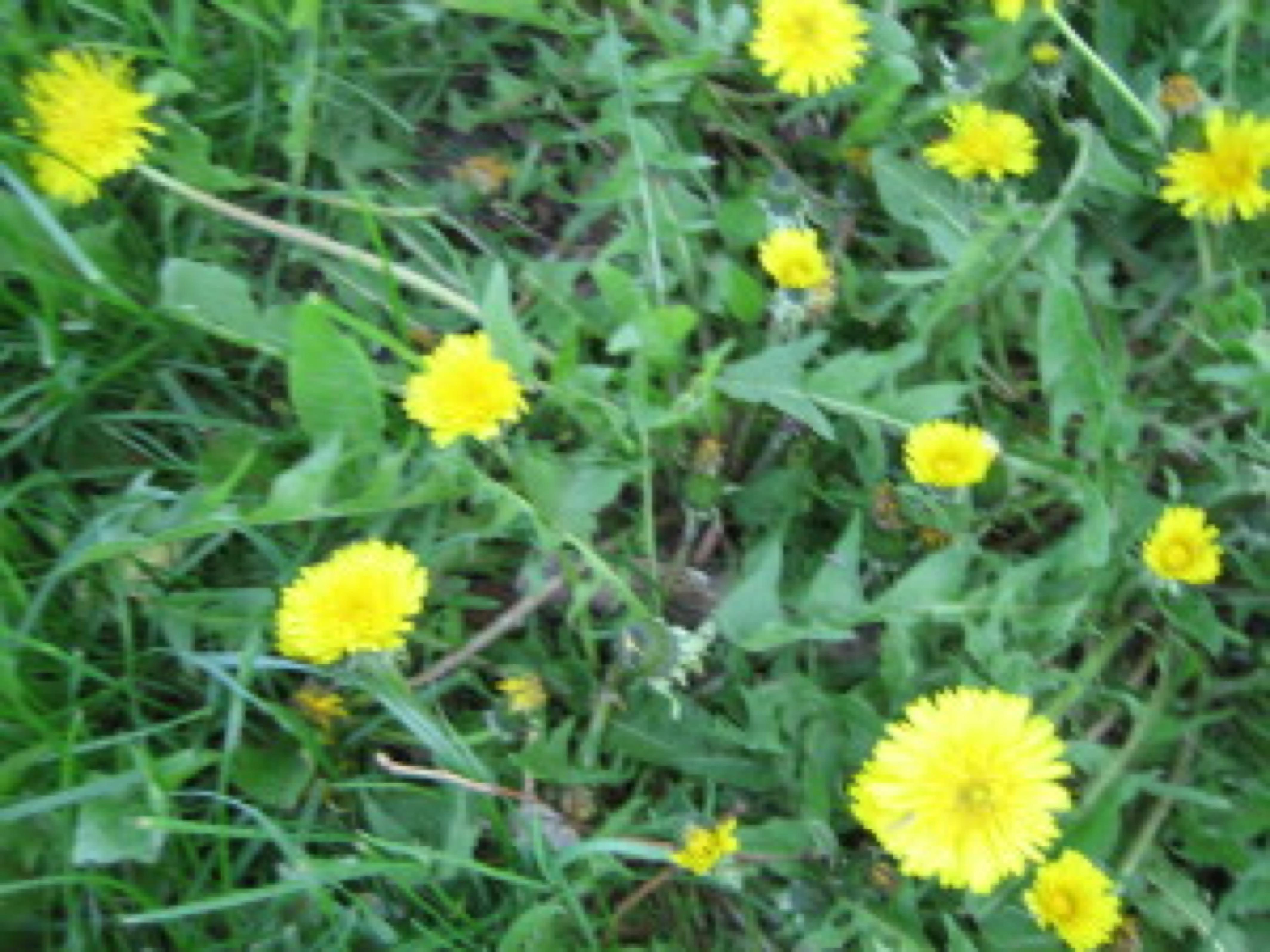 blog image - dandelions and greens