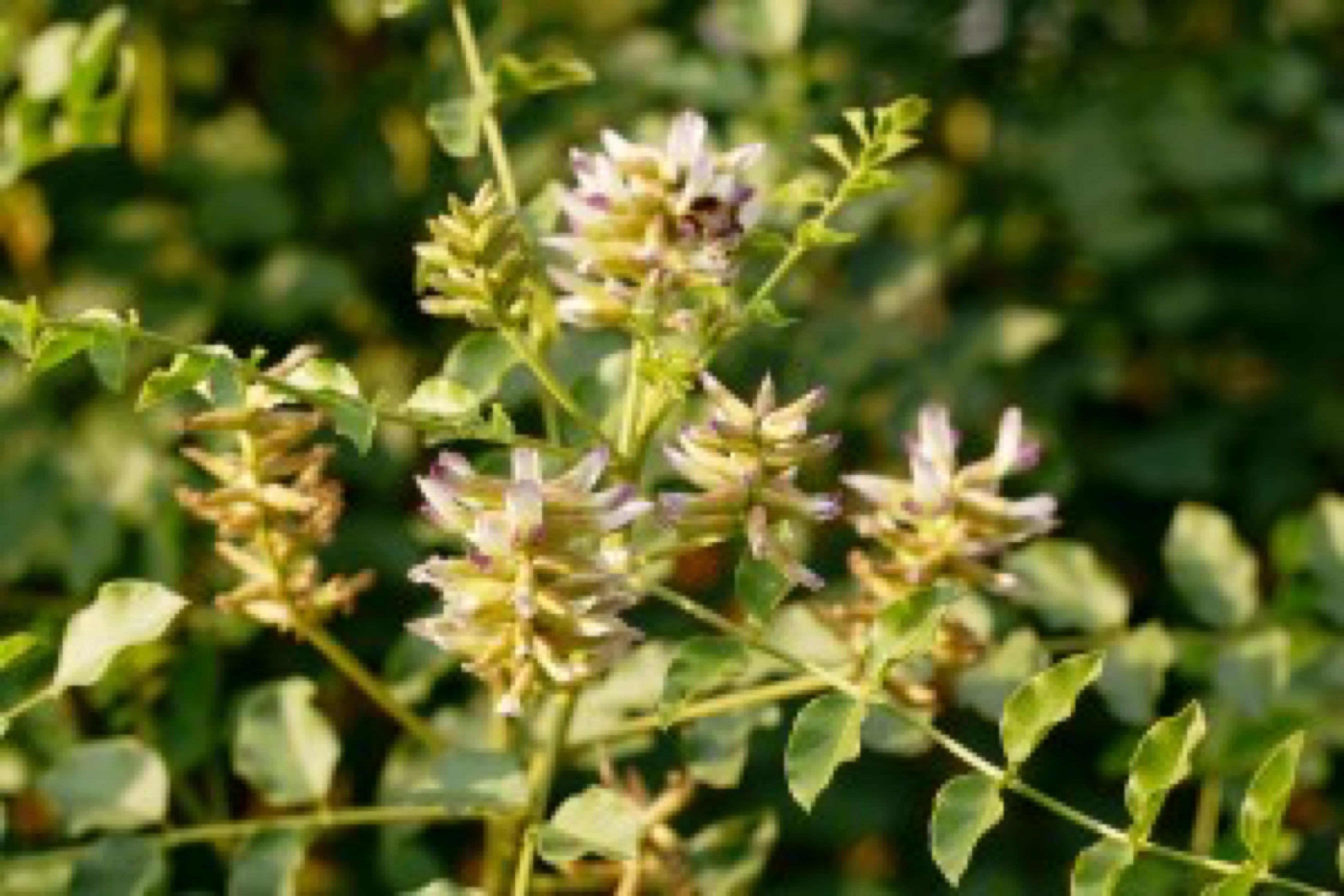 Liquorice ( Glycyrrhiza glabra ) plant and flower