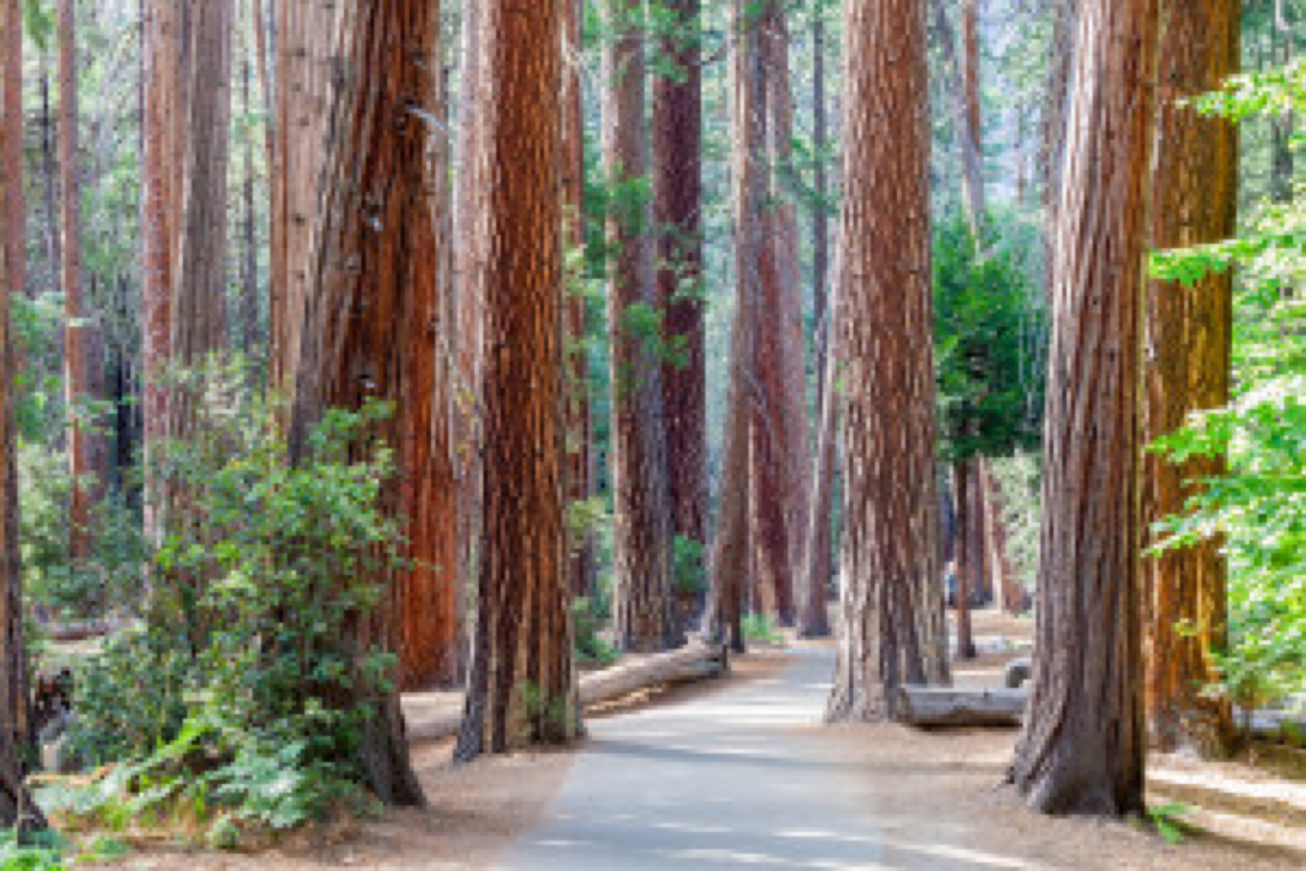 Yosemite National Park trees. California, USA
