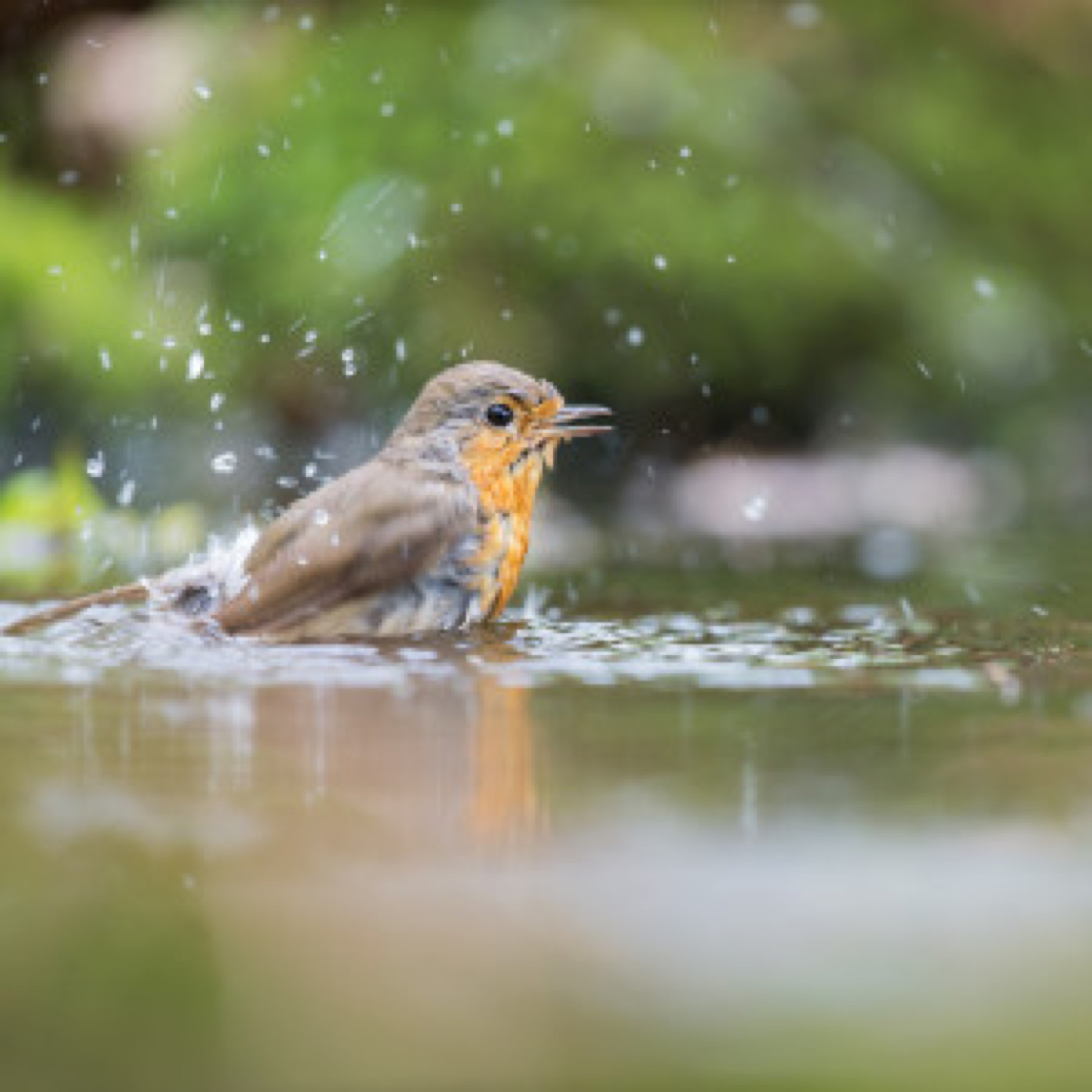 European Robin bird taking a bath