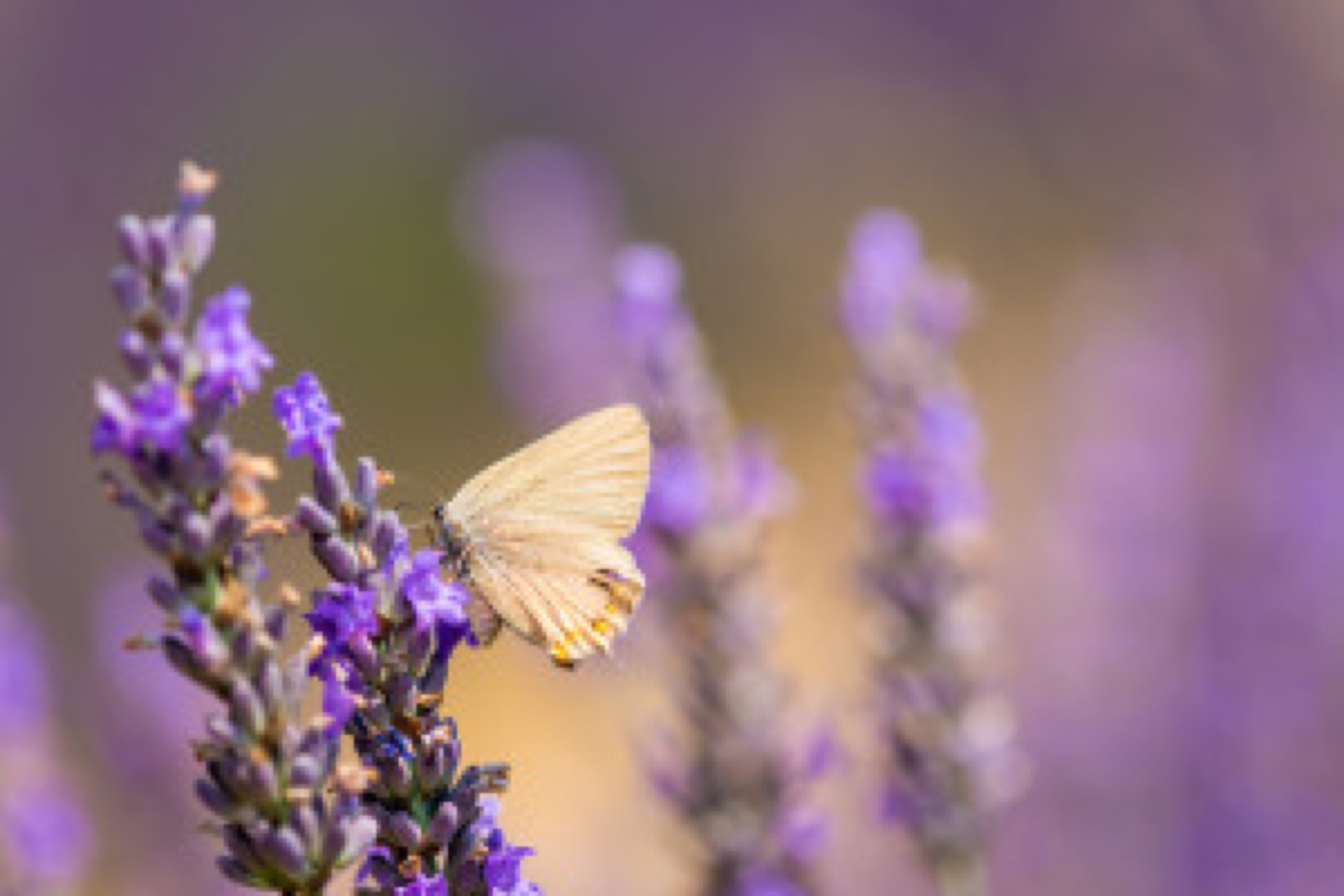 Butterfly on a lavender meadow.