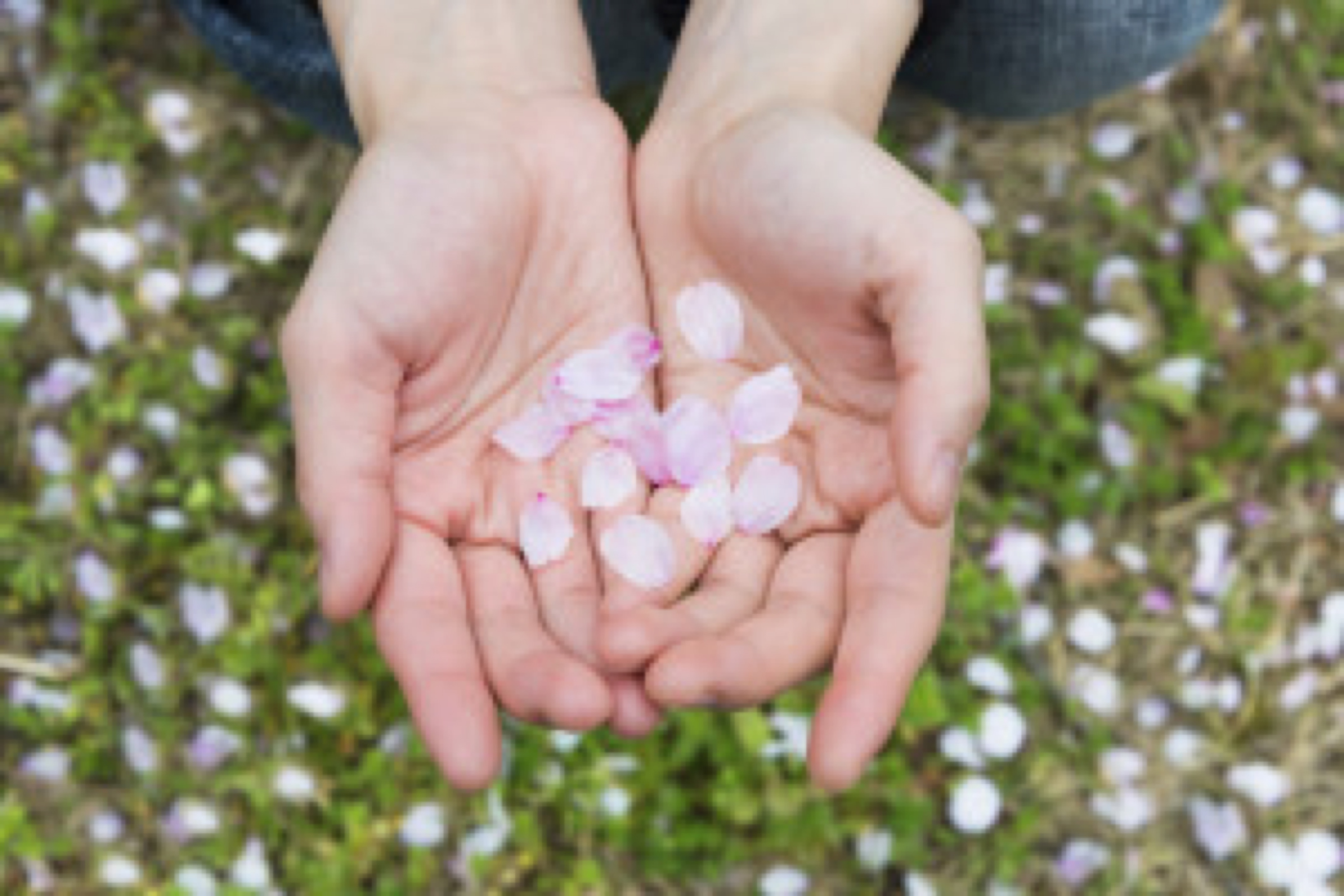Cherry Blossom Petals on a Young Lady's Hands