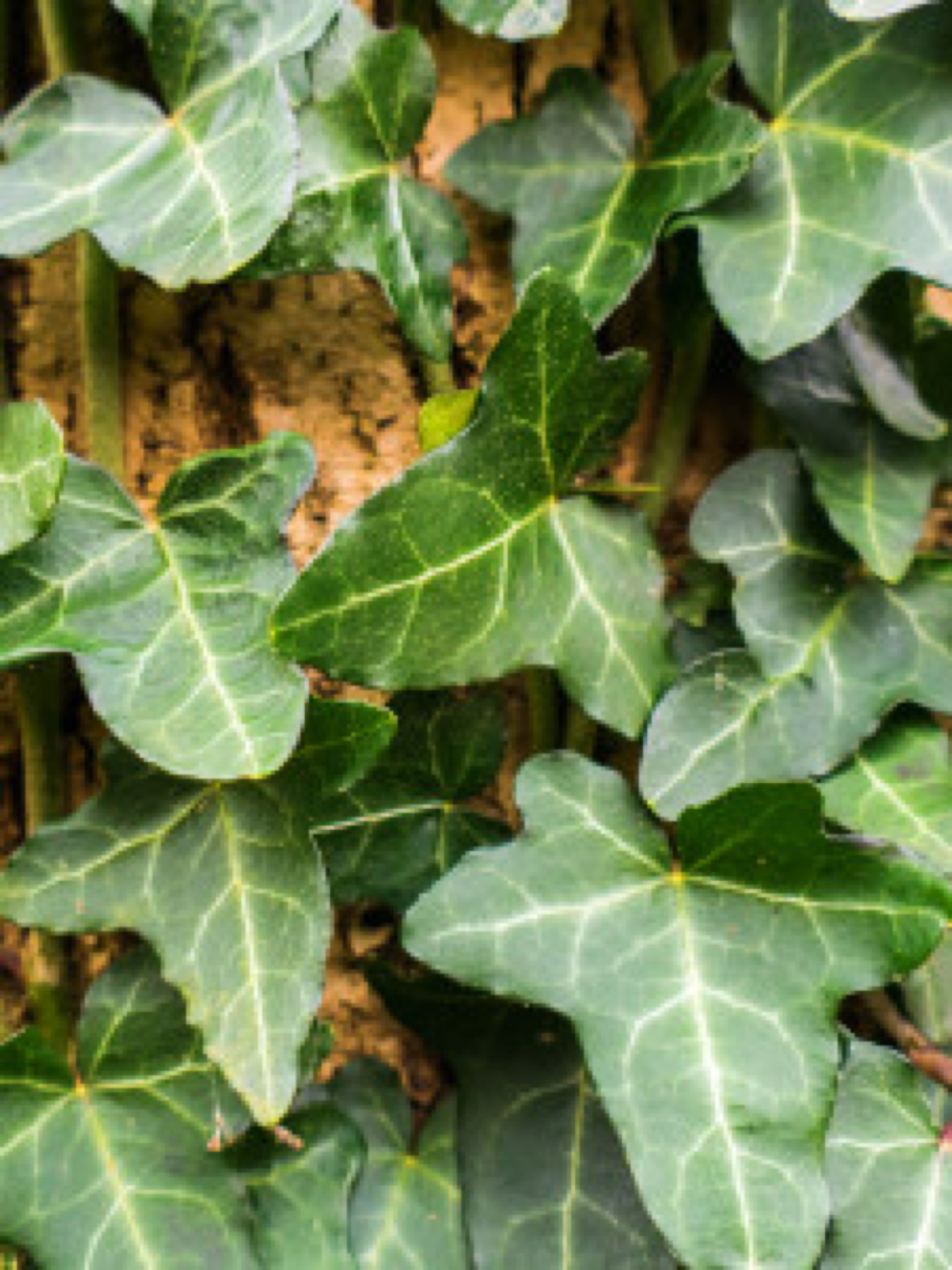 Hedera helix, Green Ripple growing on tree close up