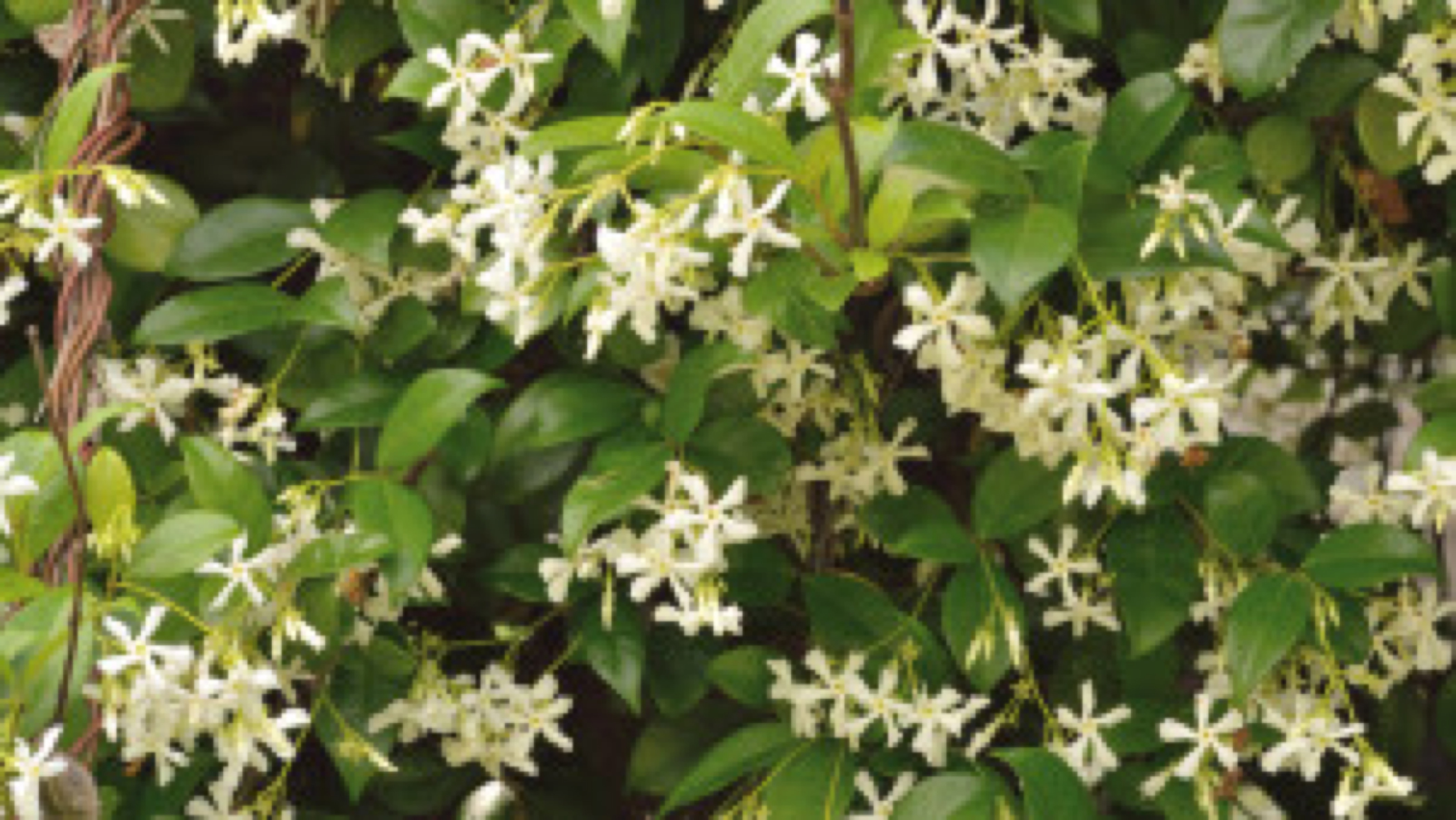 Jasminum or jasmine vine in full bloom.