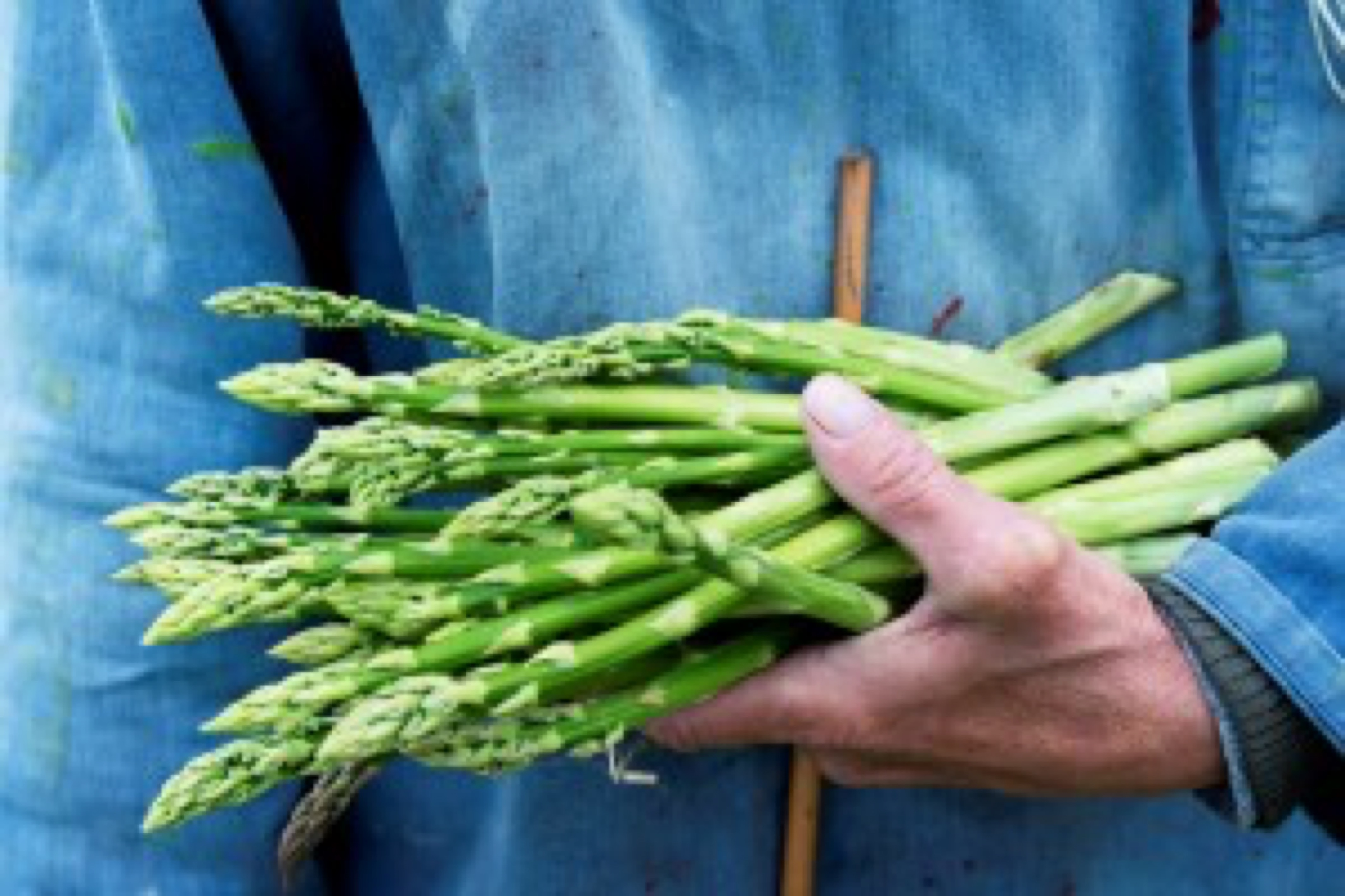 Photo of a farmer holding a freshly cut bunch of organic asparagus in his hand. The piece of cane is his hand shows the minimum length that the asparagus must reach before they are harvested. The focus is on the asparagus he is holding and he is wearing a faded blue tunic that contrasts nicely with the green of the asparagus and gives a nice area for copy space. Horizontal format.