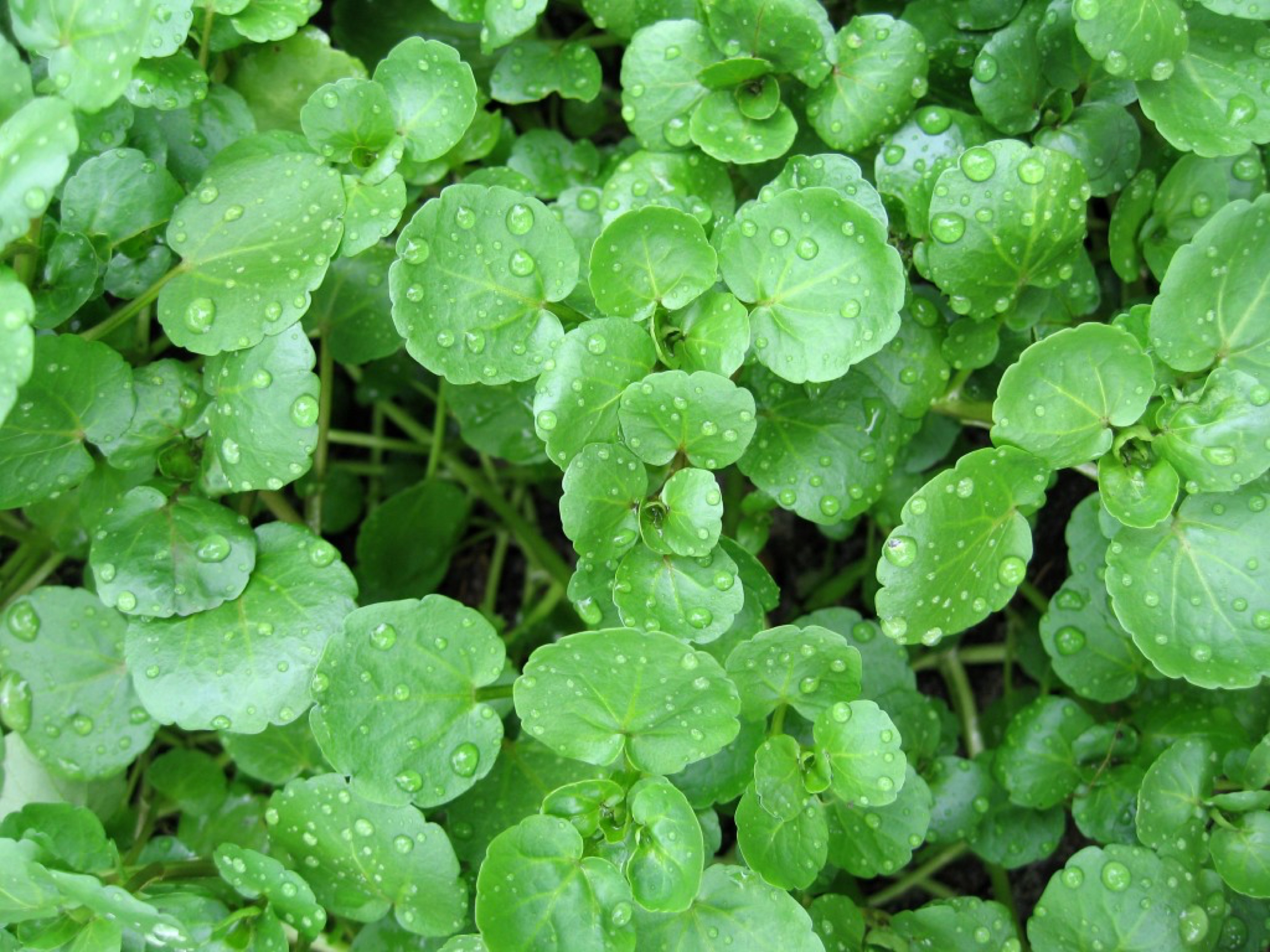The watercress is a perennial aquatic plant cultivated for human consumption.